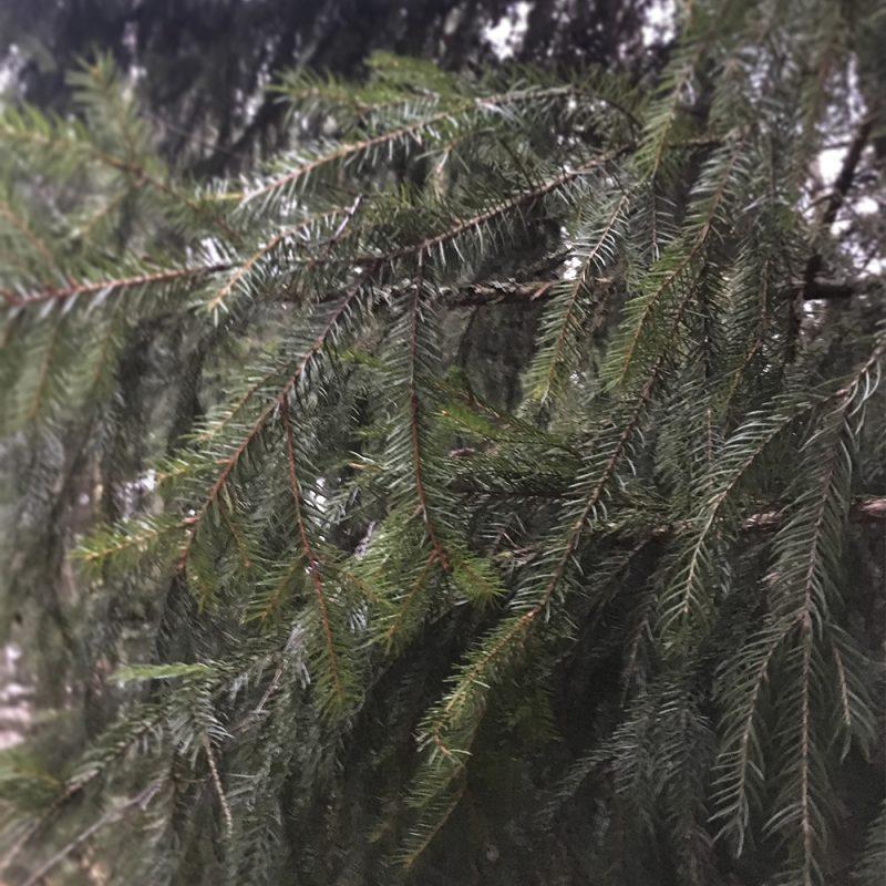Metsäkuusi Picea abies