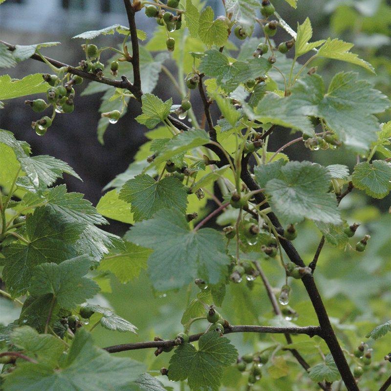 Mustaherukka Ribes nigrum pensas