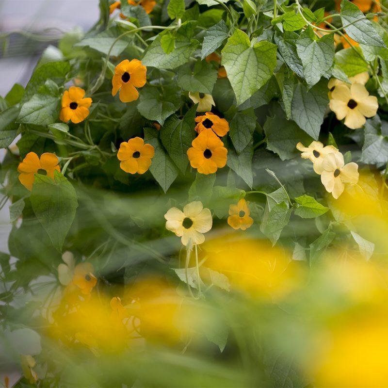 Mustasilmäsusanna Thunbergia alata, oranssi