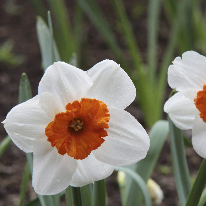 Narsissi Narcissus sp., valkoinen