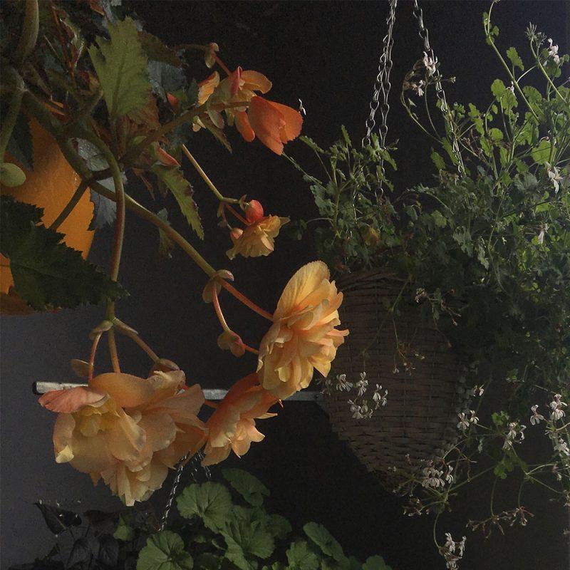 Neitobegonia Begonia Pendula-ryhmä Kekkilä