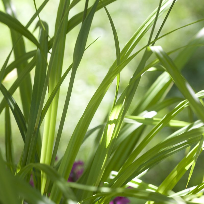 Nuokkusara Carex pendula