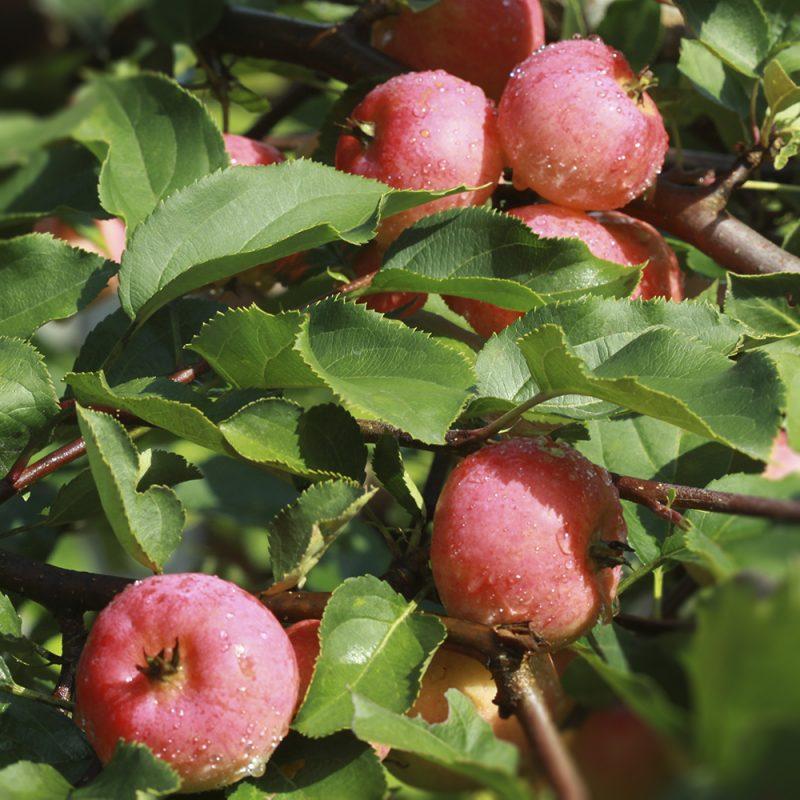 Omenapuu Malus domestica omenoita