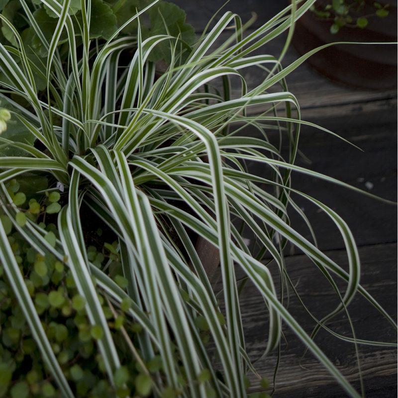 Oshimansara Carex oshimensis koristeheinä