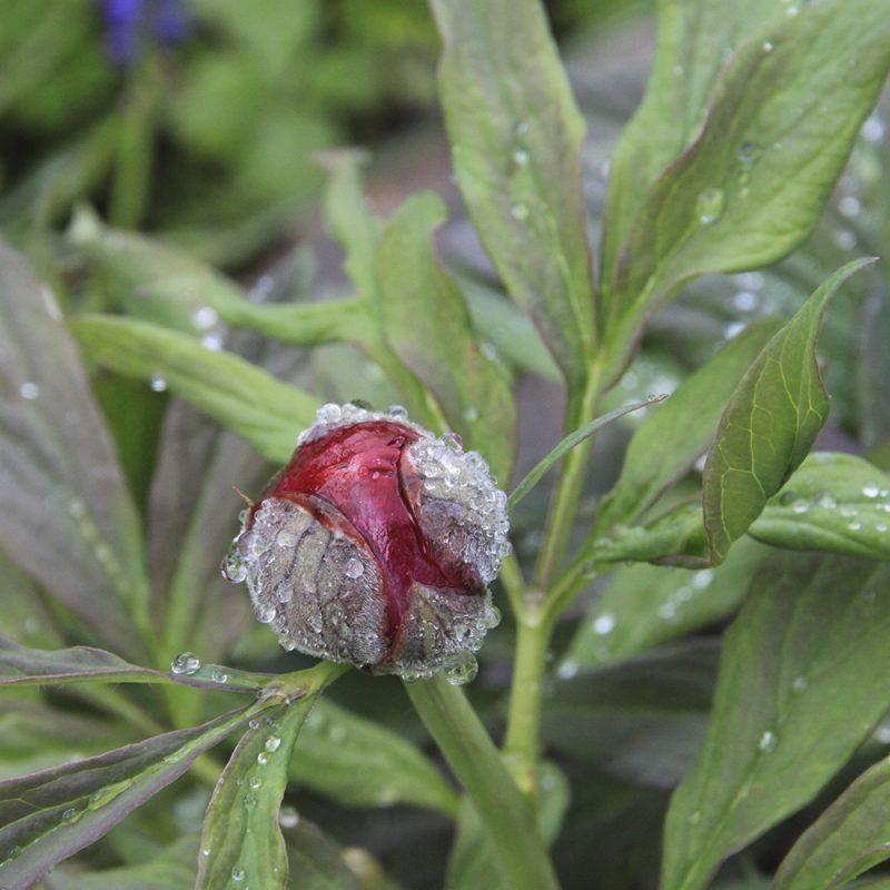 Pallaksenpioni pallaspioni Paeonia mollia