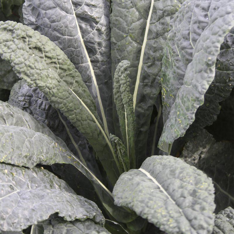 Palmukaali Brassica oleracea var. sabellica., läheltä