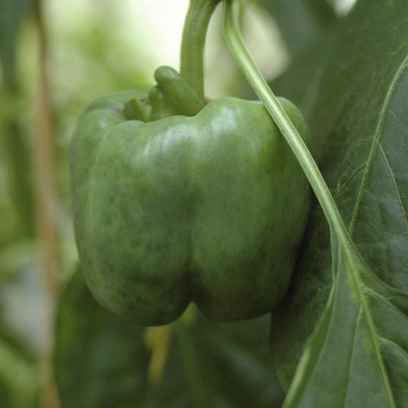 Paprika Capsicum annuum