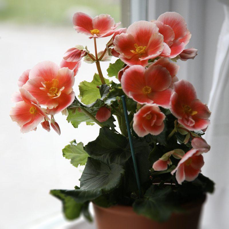 Pauliinabegonia, ruusubegonia Begonia Elatior-ryhmä