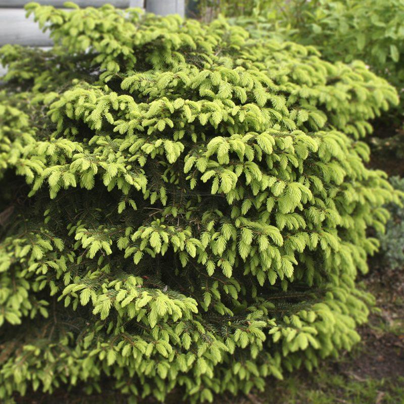 Pesäkuusi Picea abies