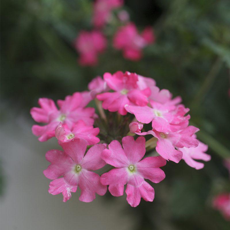 Riippaverbena Verbena bipinnatifida kukka