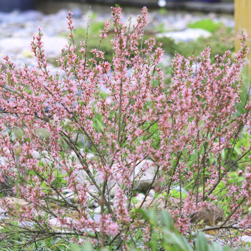 Ruusumanteli Prunus triloba
