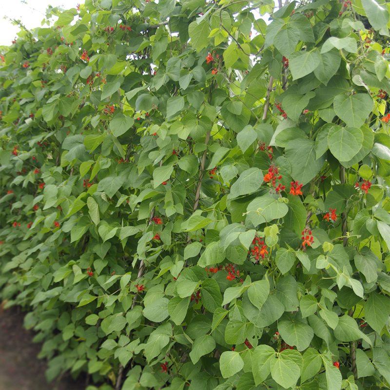 Ruusupapu Phaseolus coccineus