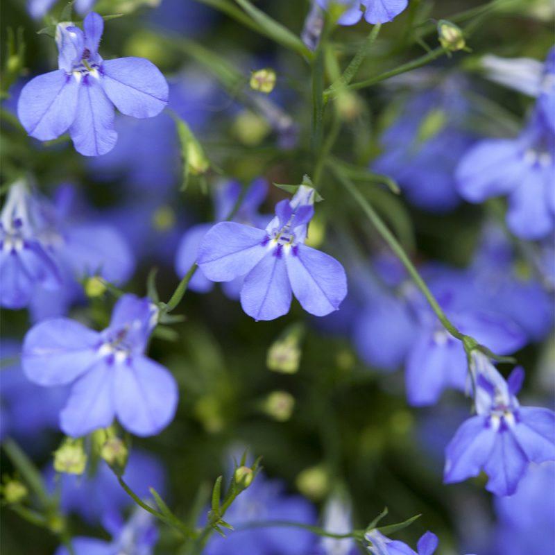 Sinilobelia Lobelia erinus kukka