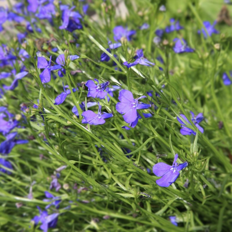 Sinilobelia Lobelia erinus kukkii pienin kukin