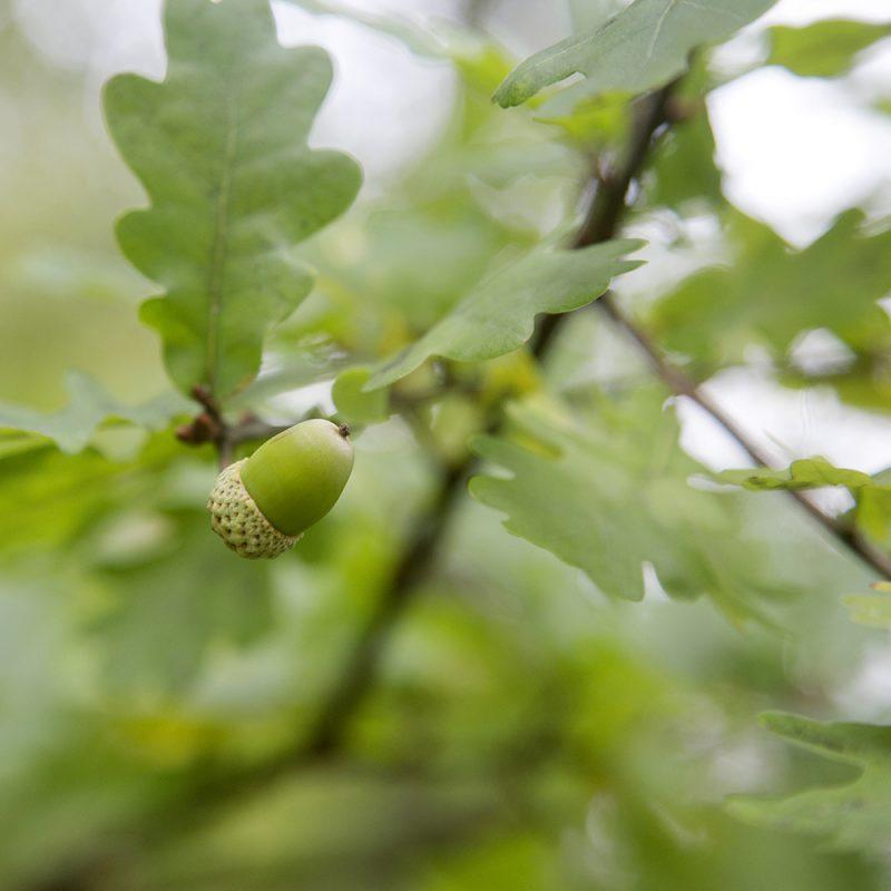 Tammi Quercus robur