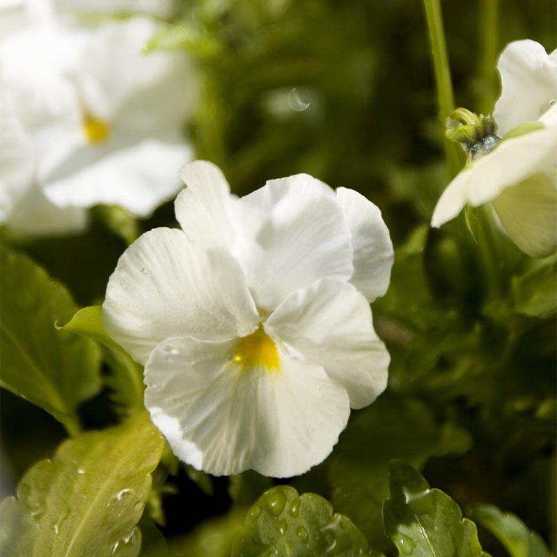 Tarhaorvokki Viola, valkoinen