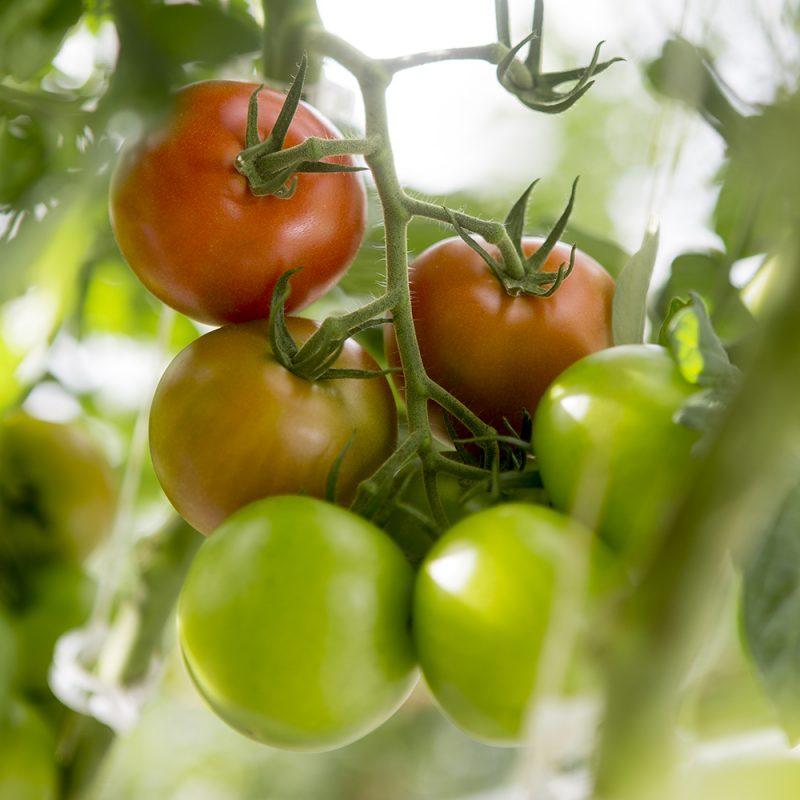 Tomaatti Lycopersicon esculentum